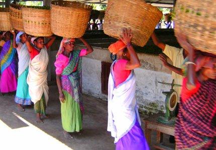 Teepflückerinnen kommen mit ihrer Ernte in die 'Tee-Fabrik'
